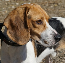 BARNY, Hund, Beagle-Mix in Zypern - Bild 3