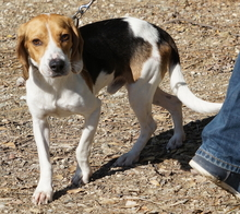 BARNY, Hund, Beagle-Mix in Zypern - Bild 4