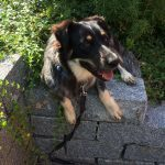 TINKERBELL, Hund, Australian Shepherd-Border Collie-Mix in Appenzell - Bild 10