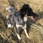 TINKERBELL, Hund, Australian Shepherd-Border Collie-Mix in Appenzell - Bild 11