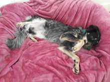 TINKERBELL, Hund, Australian Shepherd-Border Collie-Mix in Appenzell - Bild 3