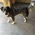 TINKERBELL, Hund, Australian Shepherd-Border Collie-Mix in Appenzell - Bild 5