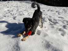 TINKERBELL, Hund, Australian Shepherd-Border Collie-Mix in Appenzell - Bild 8