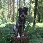 TINKERBELL, Hund, Australian Shepherd-Border Collie-Mix in Appenzell - Bild 9