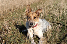 CHERRY, Hund, Australian Shepherd-Mix in Neuhausen - Bild 1