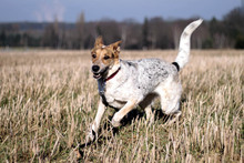 CHERRY, Hund, Australian Shepherd-Mix in Neuhausen - Bild 8