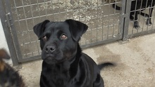 SHINA, Hund, Labrador-Mix in Ungarn - Bild 1