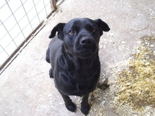 SHINA, Hund, Labrador-Mix in Ungarn - Bild 2
