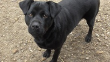 SHINA, Hund, Labrador-Mix in Ungarn - Bild 3