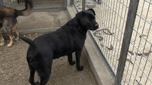 SHINA, Hund, Labrador-Mix in Ungarn - Bild 5