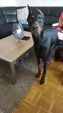SPIKE, Hund, Dobermann in Herne - Bild 1
