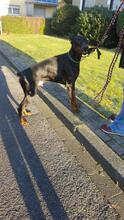 SPIKE, Hund, Dobermann in Herne - Bild 3