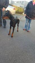 SPIKE, Hund, Dobermann in Herne - Bild 4