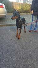 SPIKE, Hund, Dobermann in Herne - Bild 5