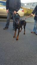SPIKE, Hund, Dobermann in Herne - Bild 6