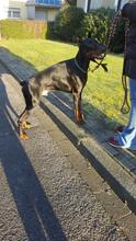 SPIKE, Hund, Dobermann in Herne - Bild 7