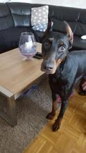 SPIKE, Hund, Dobermann in Herne - Bild 8