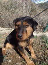 TOI, Hund, Terrier-Mix in Spanien - Bild 1