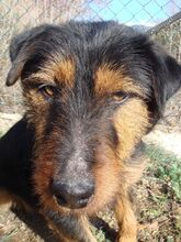 TOI, Hund, Terrier-Mix in Spanien - Bild 2