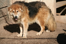 OMERO, Hund, Collie-Mix in Italien - Bild 2