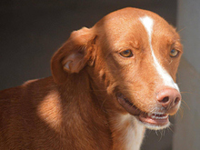 ERROL, Hund, Podenco-Mix in Spanien - Bild 11