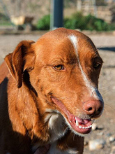 ERROL, Hund, Podenco-Mix in Spanien - Bild 13