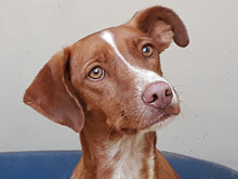 ERROL, Hund, Podenco-Mix in Spanien - Bild 17