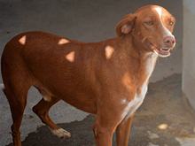 ERROL, Hund, Podenco-Mix in Spanien - Bild 2