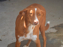 ERROL, Hund, Podenco-Mix in Spanien - Bild 3