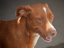 ERROL, Hund, Podenco-Mix in Spanien - Bild 4