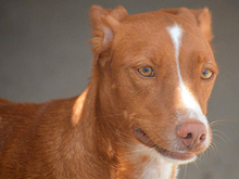 ERROL, Hund, Podenco-Mix in Spanien - Bild 5