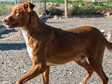 ERROL, Hund, Podenco-Mix in Spanien - Bild 7