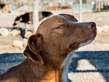 ERROL, Hund, Podenco-Mix in Spanien - Bild 8
