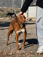 ERROL, Hund, Podenco-Mix in Spanien - Bild 9