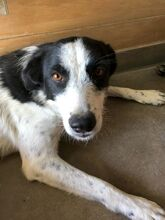 TONIA, Hund, Border Collie-Mix in Spanien - Bild 1