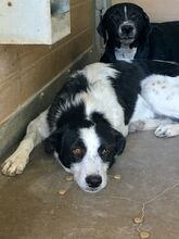 TONIA, Hund, Border Collie-Mix in Spanien - Bild 2