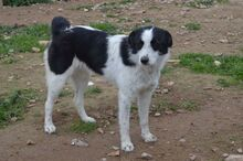 TONIA, Hund, Border Collie-Mix in Spanien - Bild 3