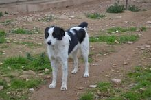 TONIA, Hund, Border Collie-Mix in Spanien - Bild 5