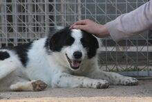 TONIA, Hund, Border Collie-Mix in Spanien - Bild 7