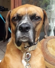 RIK, Hund, Boxer-Mix in Melle - Bild 1