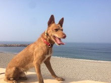 CANELO, Hund, Podenco-Mix in Spanien - Bild 18