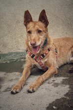 CANELO, Hund, Podenco-Mix in Spanien - Bild 2