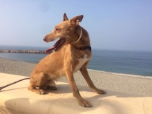 CANELO, Hund, Podenco-Mix in Spanien - Bild 22