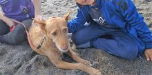 CANELO, Hund, Podenco-Mix in Spanien - Bild 5