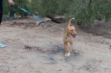 CANELO, Hund, Podenco-Mix in Spanien - Bild 7