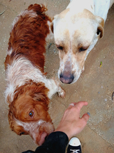 HUESOS, Hund, Pointer in Spanien - Bild 7