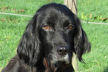 BILLY, Hund, Irish Setter-Mix in Weiler - Bild 1