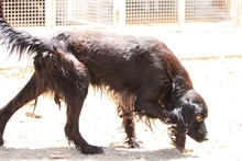 BILLY, Hund, Irish Setter-Mix in Weiler - Bild 12