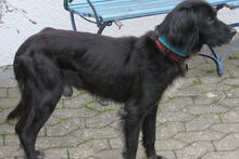 BILLY, Hund, Irish Setter-Mix in Weiler - Bild 2