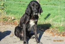 BILLY, Hund, Irish Setter-Mix in Weiler - Bild 5